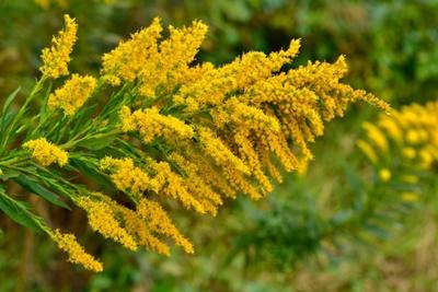 秋の花粉症 ブタクサ 画像